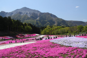Shibazakura (moss pink) festival