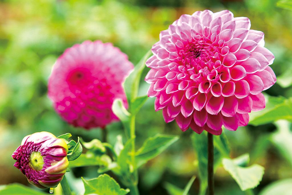 夏の花ダリア