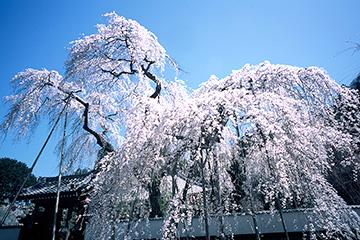しだれ桜(清雲寺)