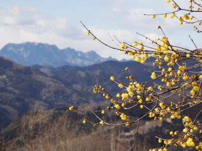 宝登山ロウバイ園
